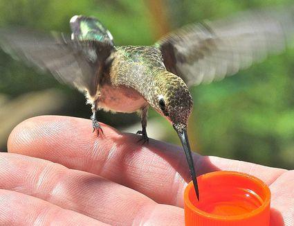 8 Easy Tips For Feeding Hummingbirds