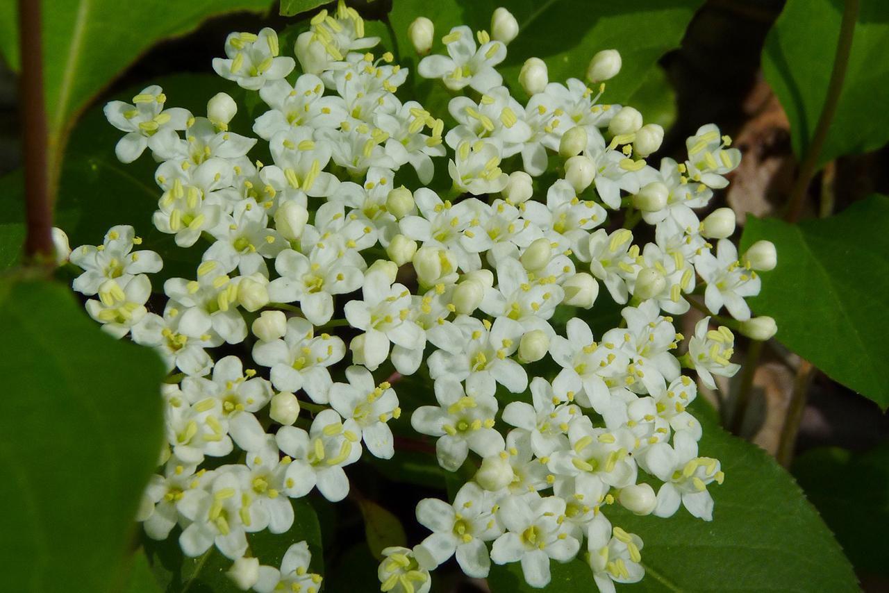 Black Haw Viburnum Prunifolium Growing Profile