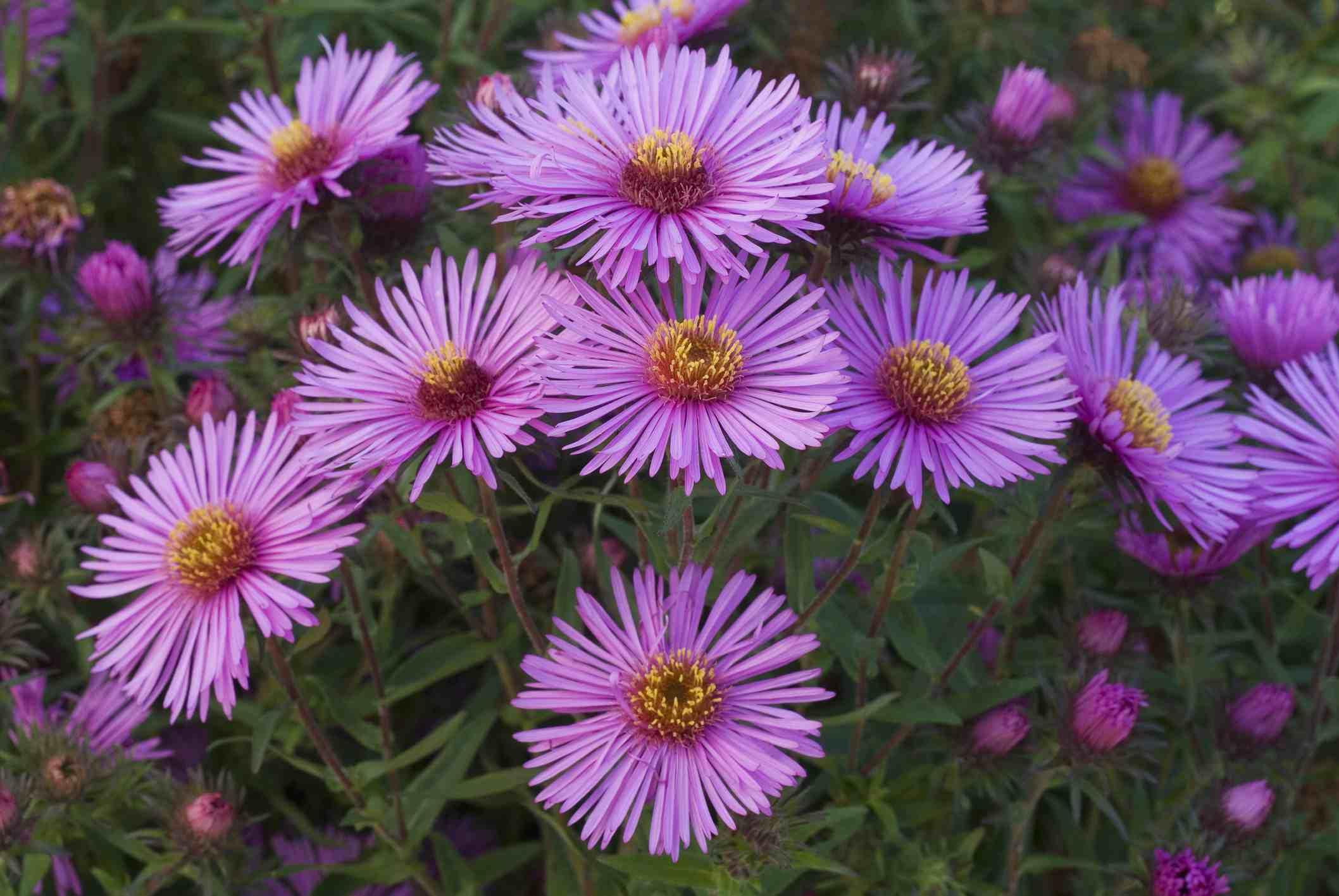 Cerca de los ásteres púrpuras en flor