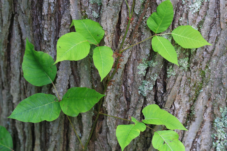 Poison Ivy Plant Profile