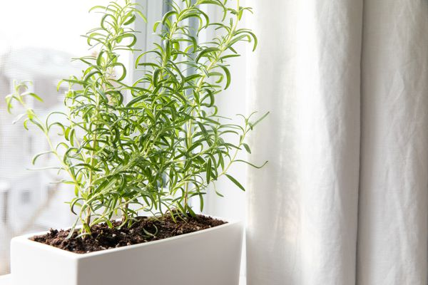 rosemary in a container by a windowsill