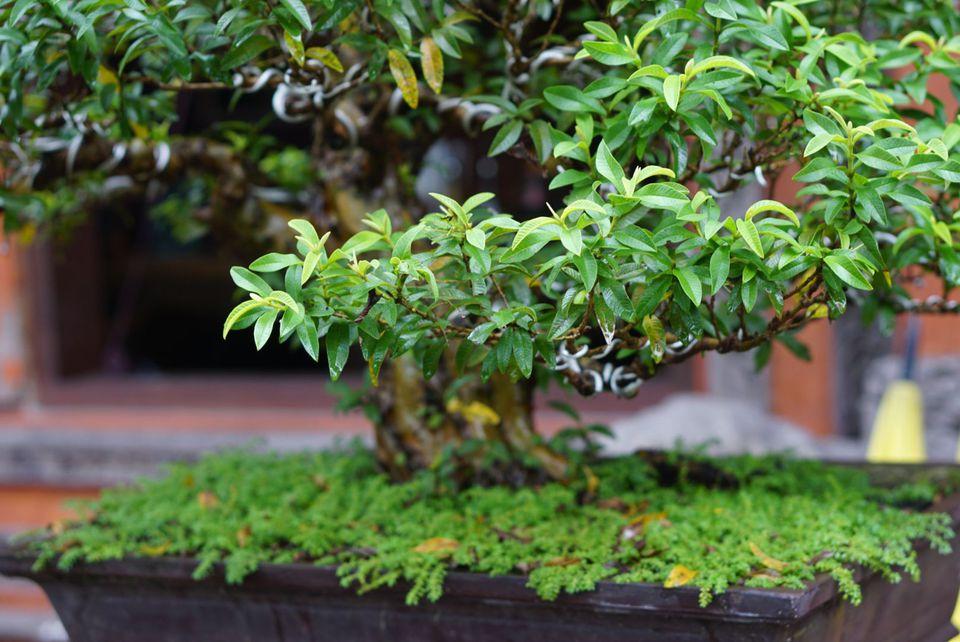 dwarf tree cultivar