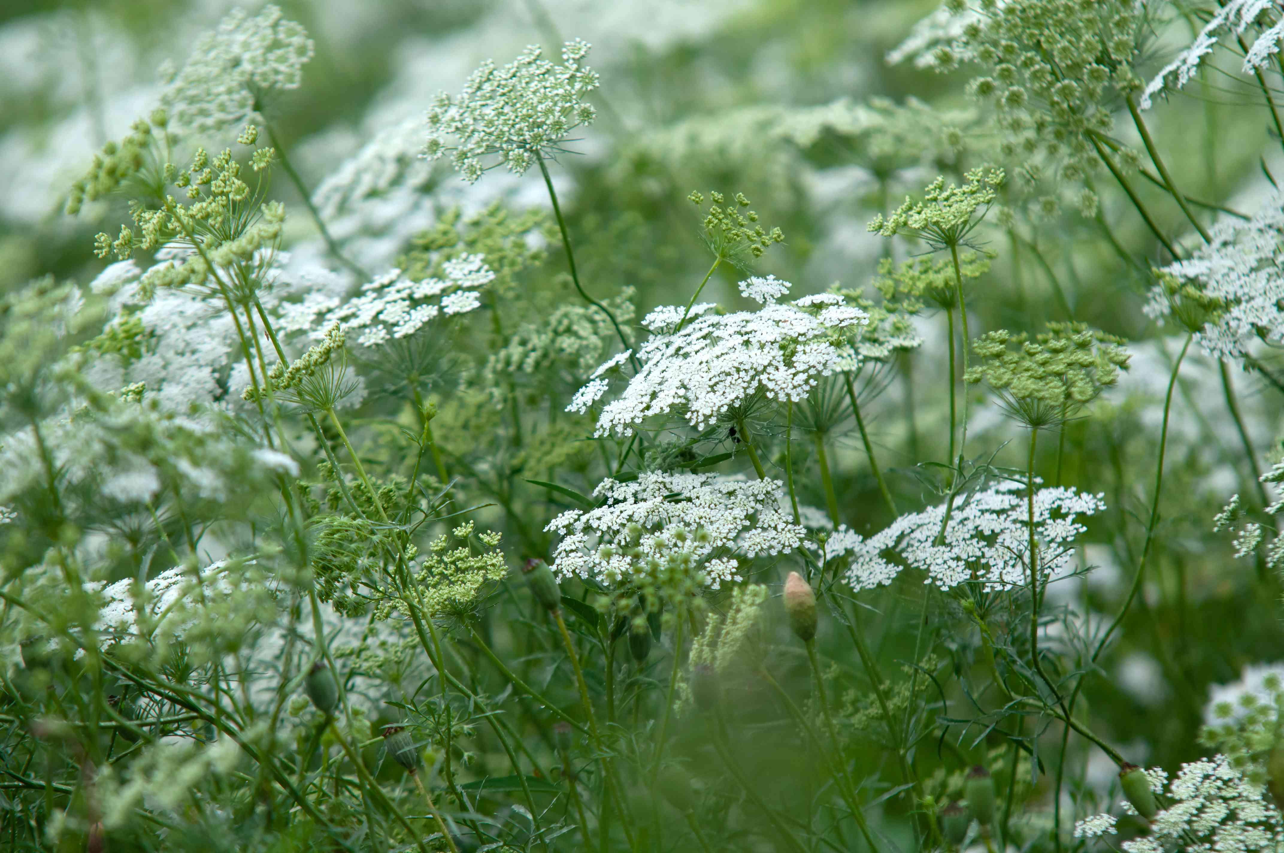 Queen's anne lace wildflowers in garden
