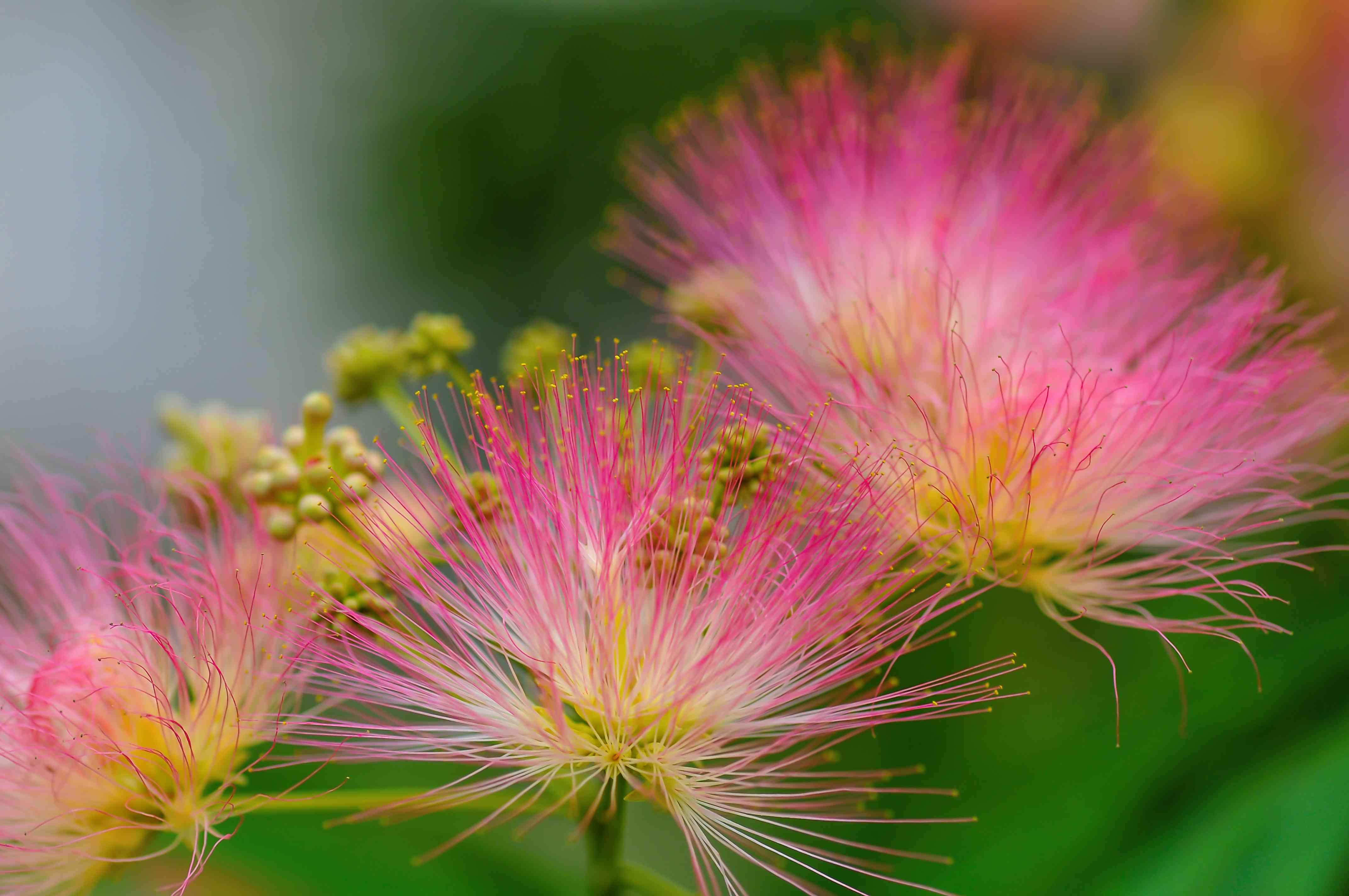 beautiful pink inflorescences of Albizia julibrissin