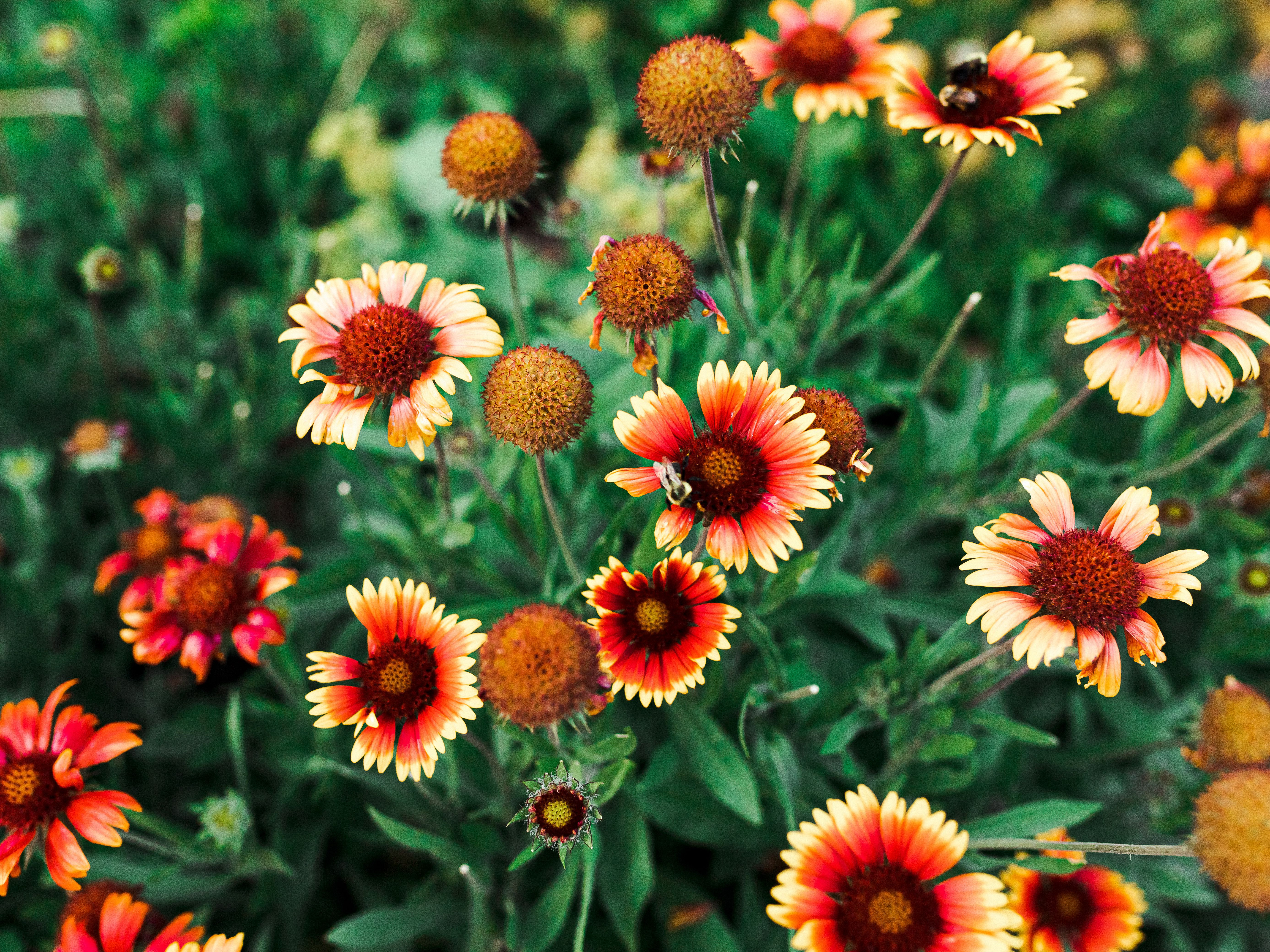 How To Grow And Care For Blanket Flower Gallardia