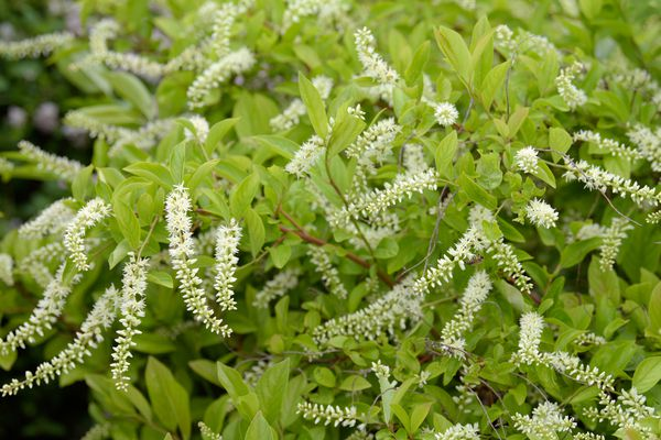 Virginia sweetspire plant with small oval leaves and white cylindrical drooping flowers