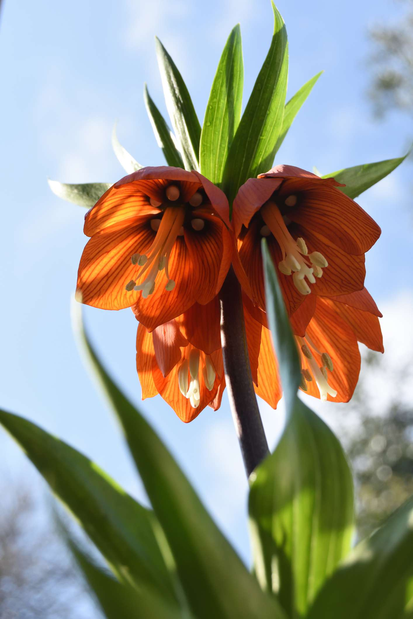 Fritillaria imperialis (Crown Imperial) flowers