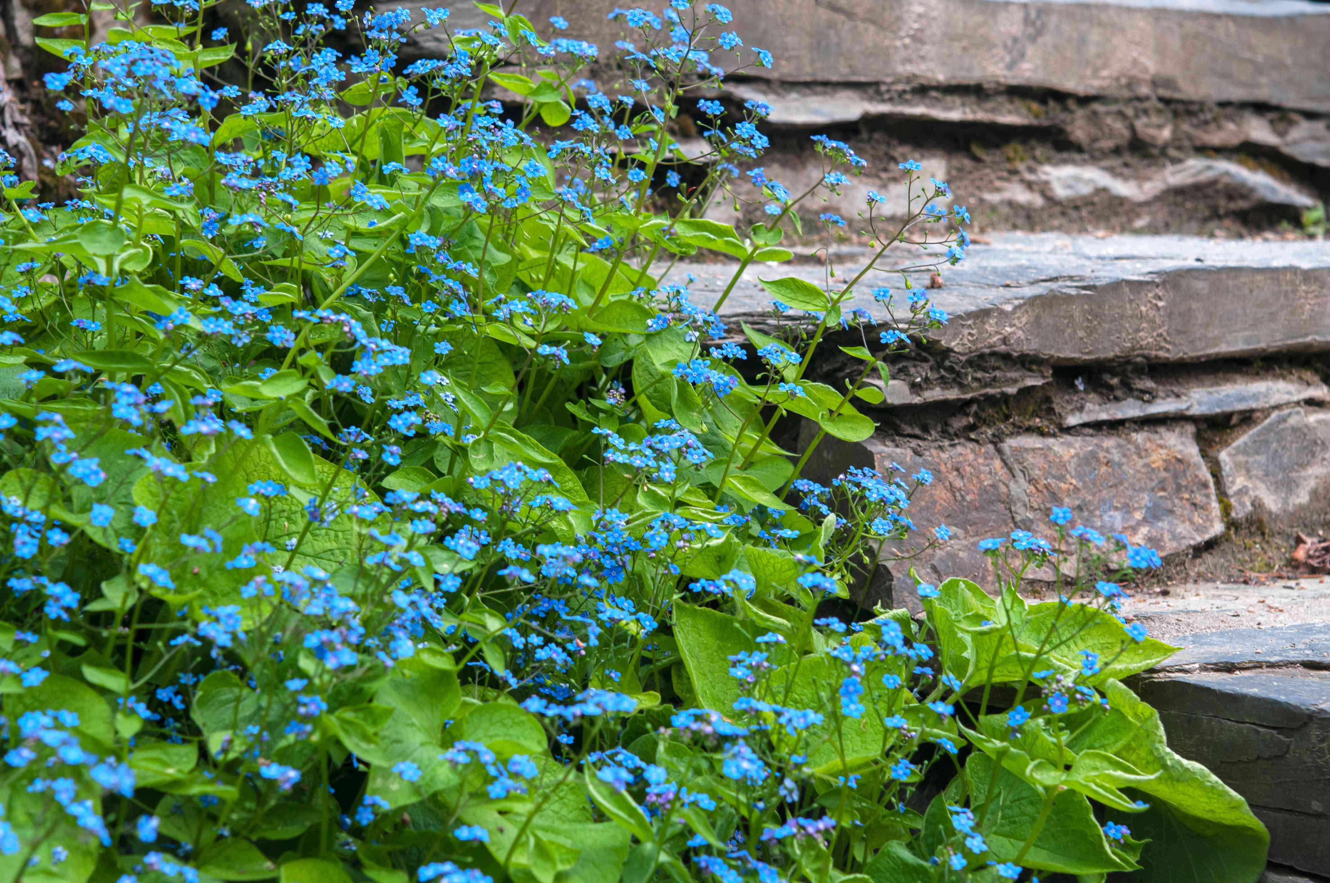 brunnera growing by rocks