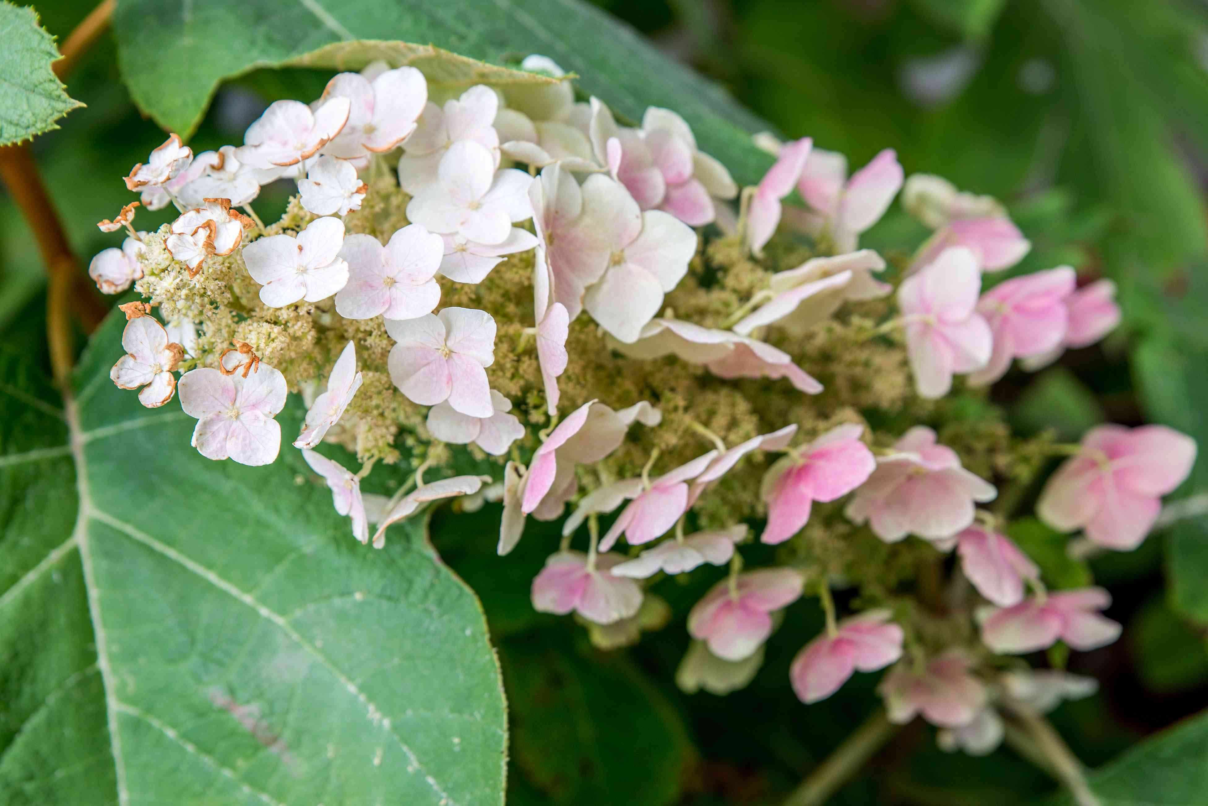 closeup of oakleaf hydrangea
