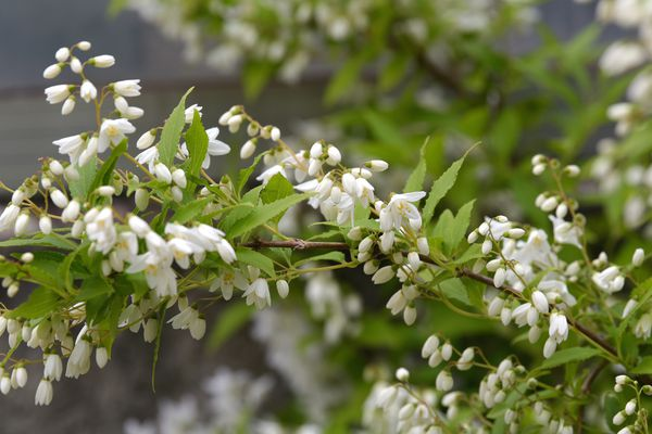 Dwarf Deutzia 'Nikko' shrub with small clusters of double white blooms on branch