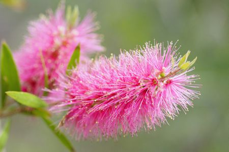 Best shrubs with pink or magenta flowers closeup of pink bottlebrush shaped flowers of callistemon shrub mightylinksfo
