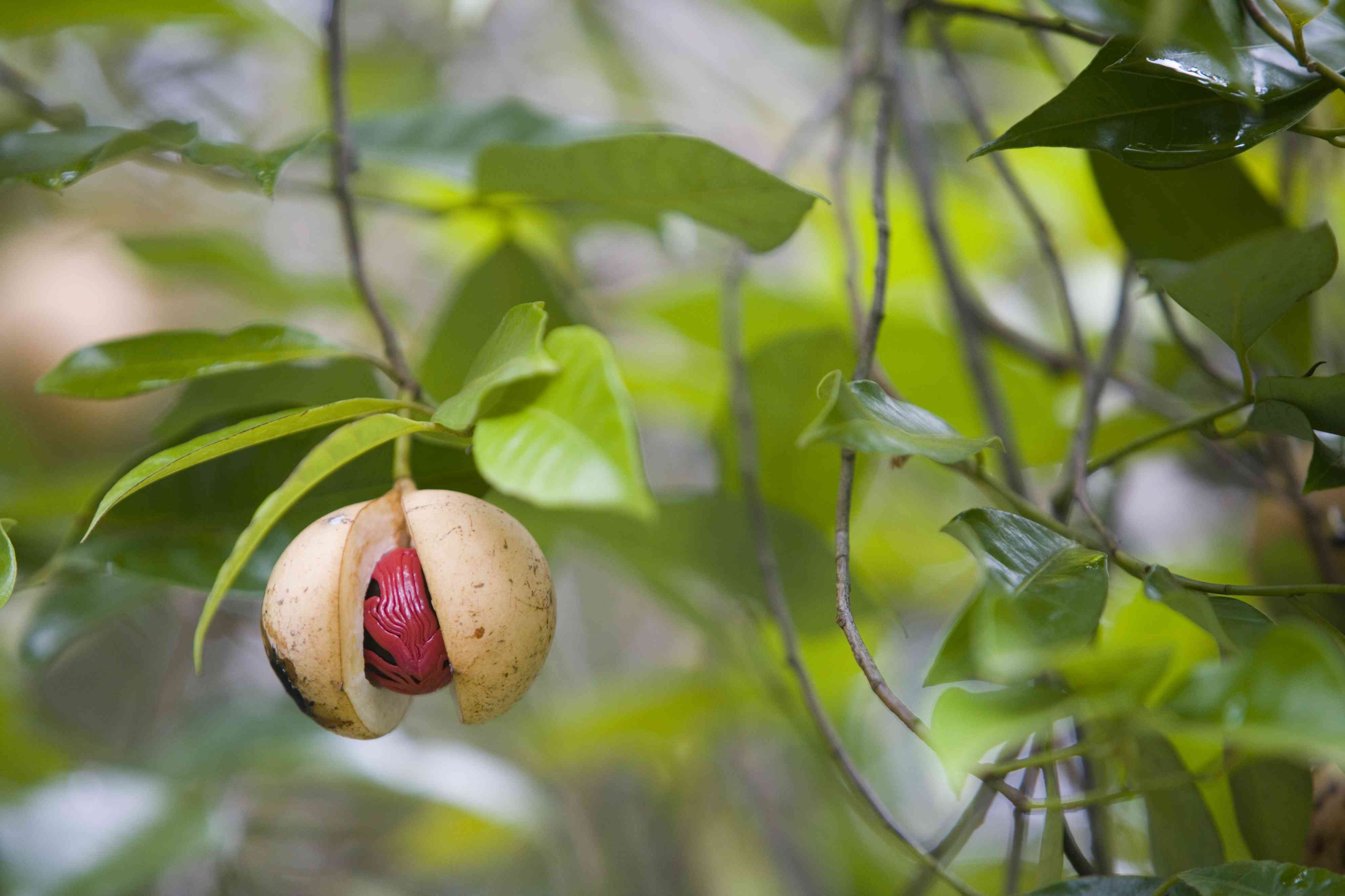 Nutmeg on tree.