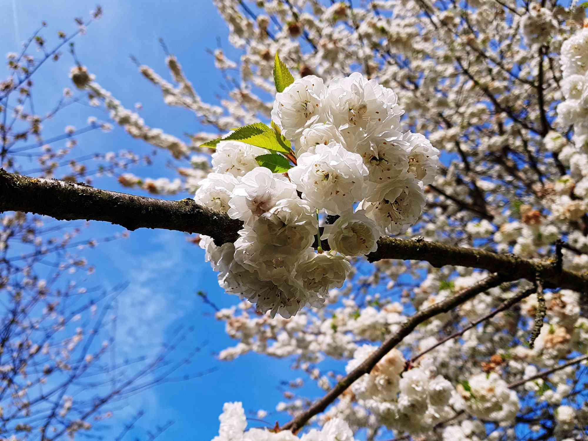 How To Grow Sweet Cherry Trees
