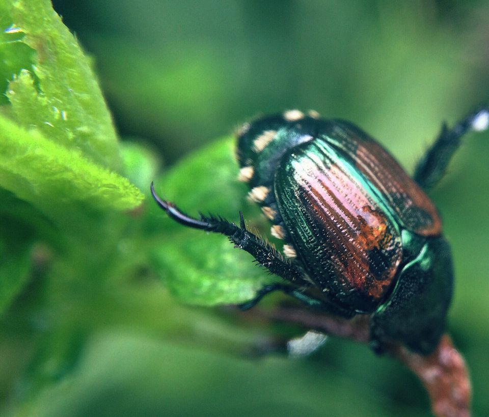Japanese beetle climbing on a leaf.