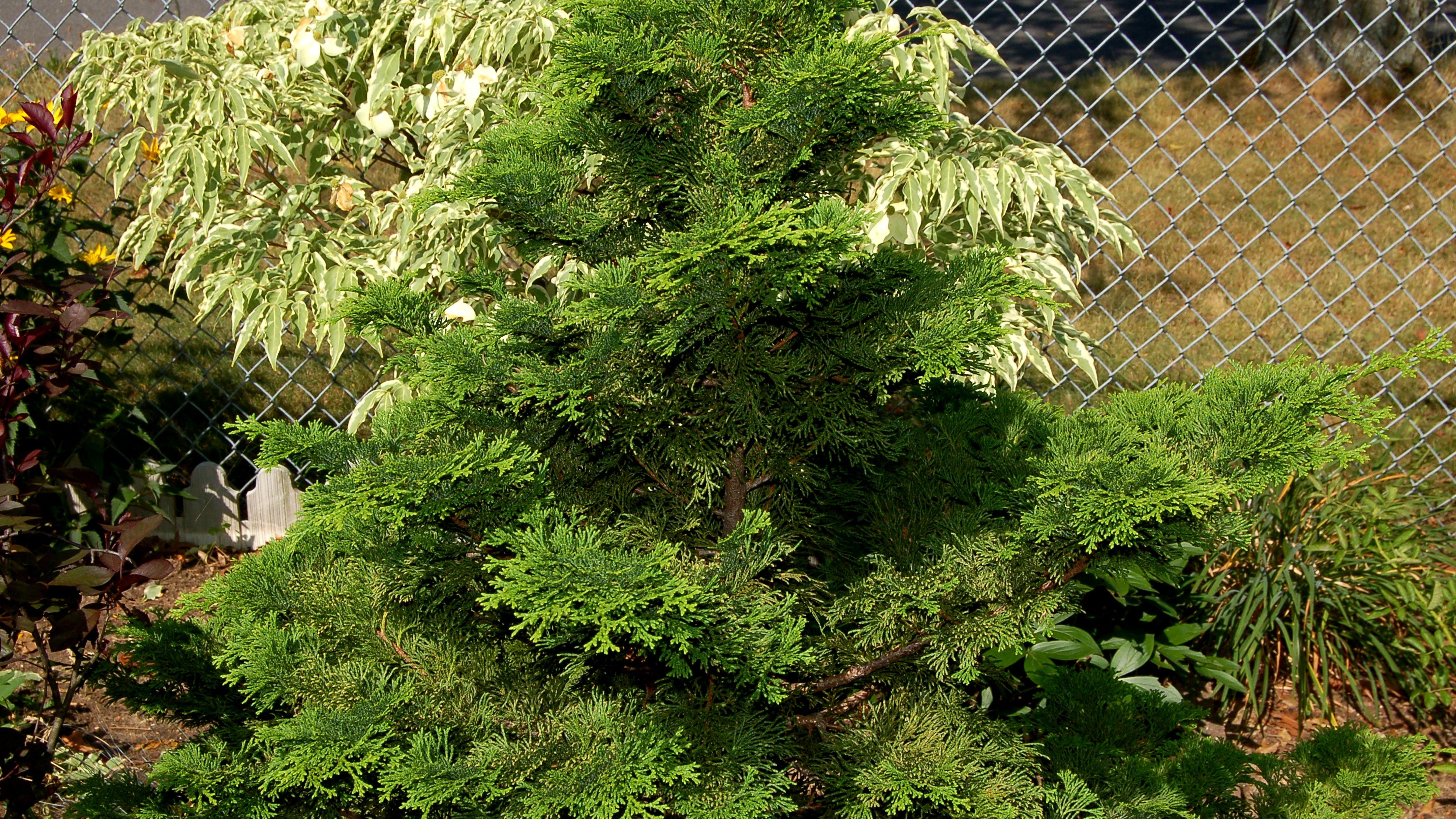 Hinoki Cypress Evergreen, Bonsai Chamaecyparis Obtusa Tree Seeds