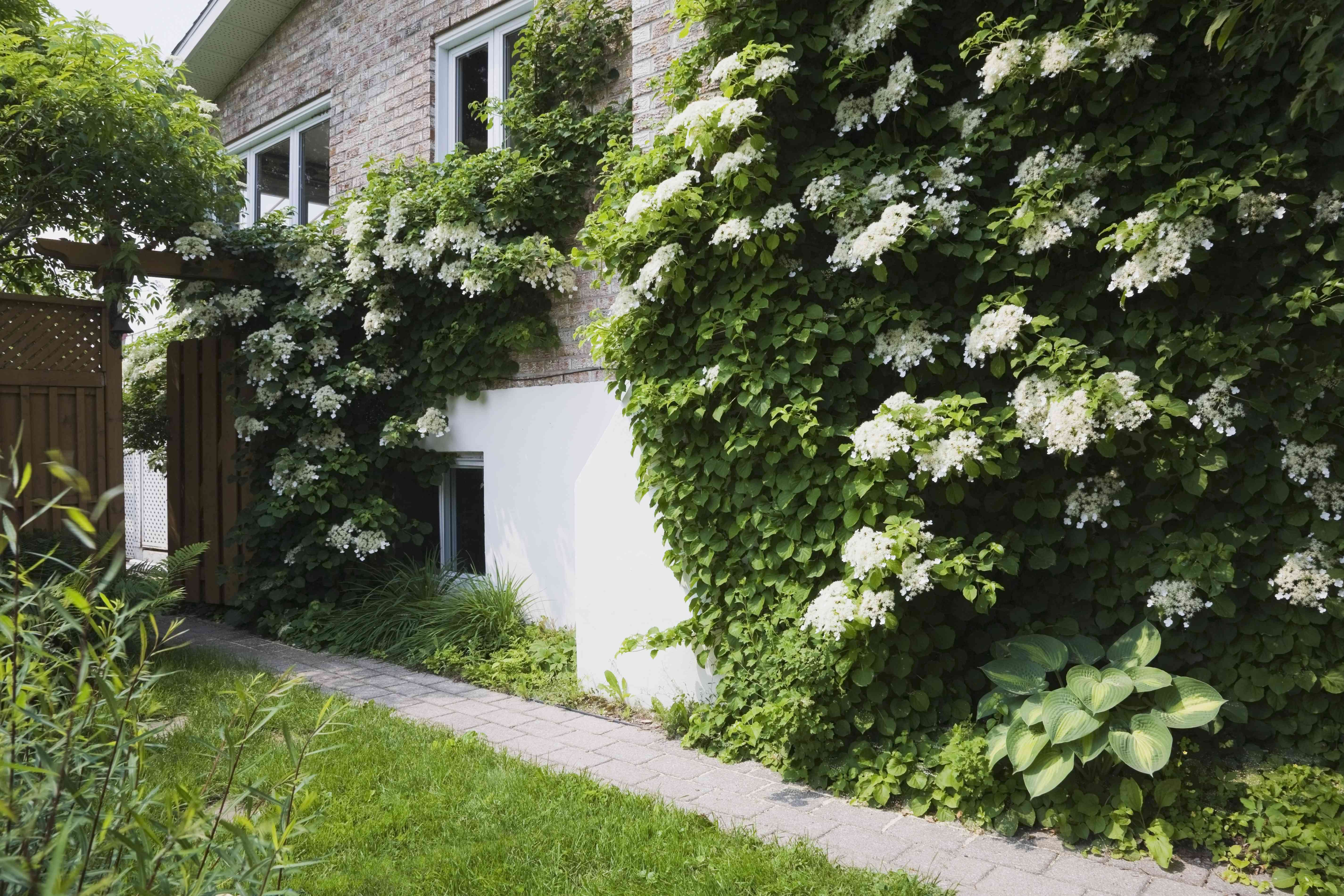 Climbing hydrangea on the side of a home with white flowers