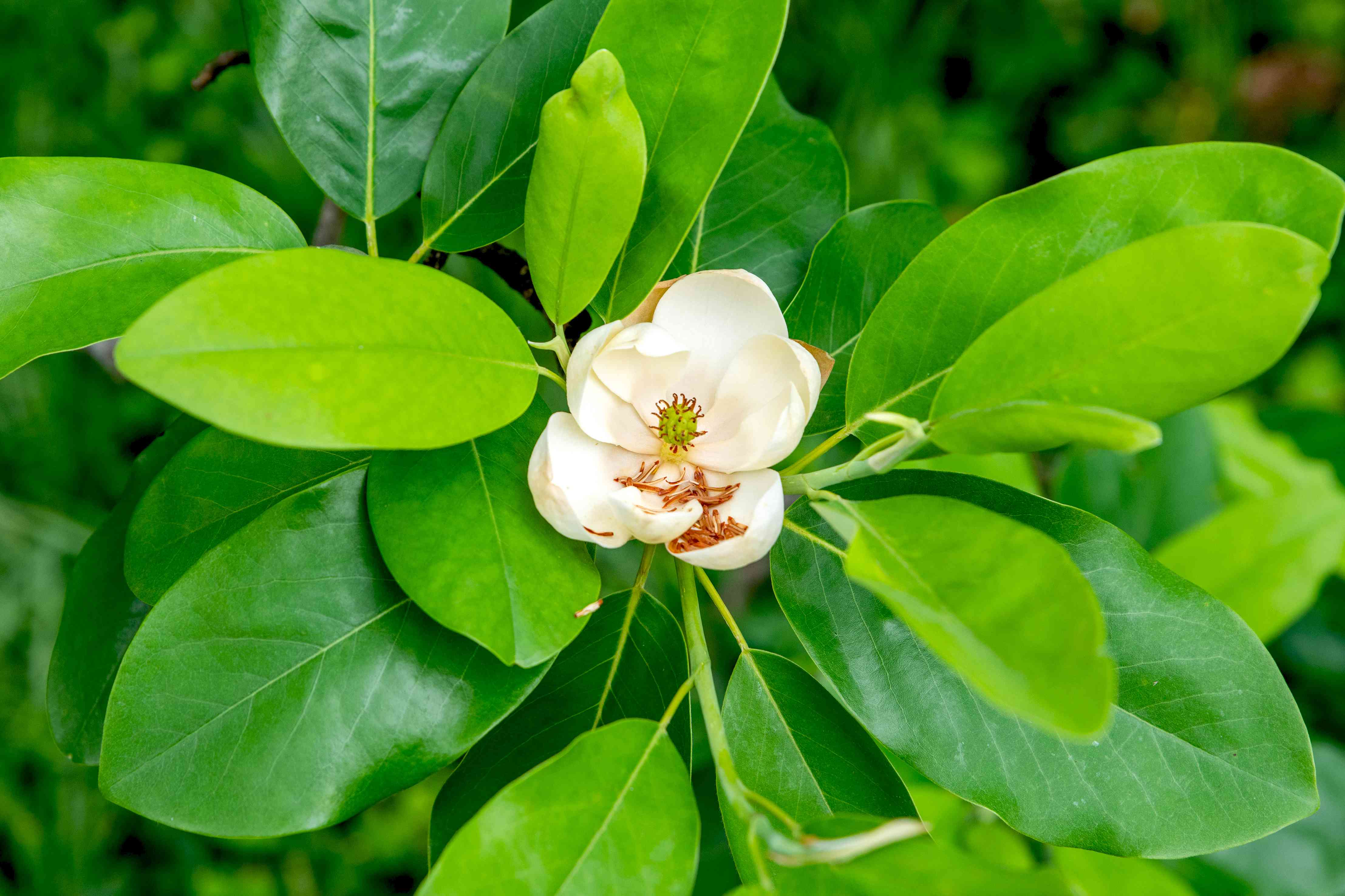 Sweetbay magnolia tree branch with lance-shaped leaves surrounding white flower in center