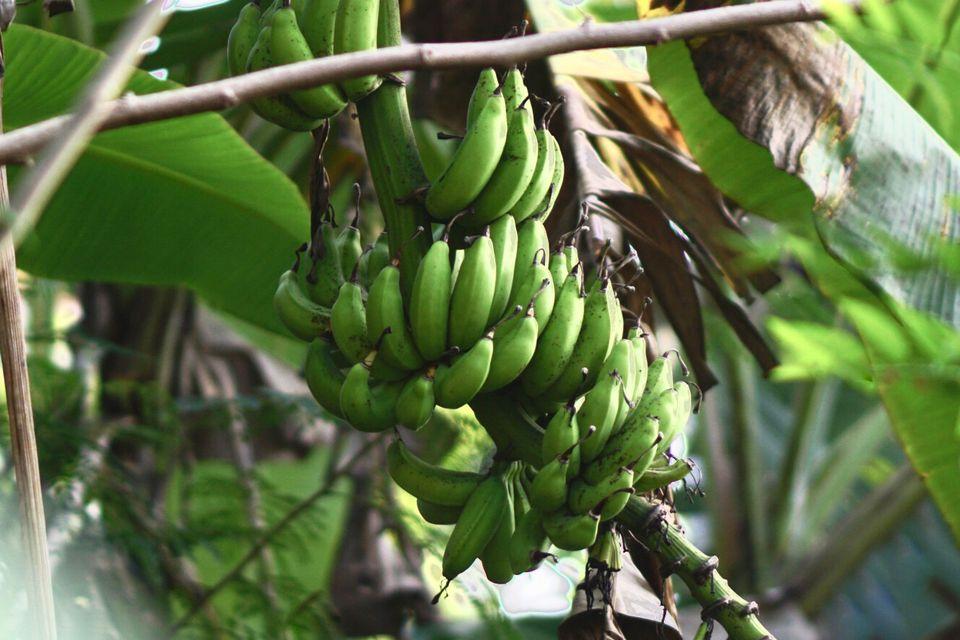 Japanese banana plant with small green bananas hanging