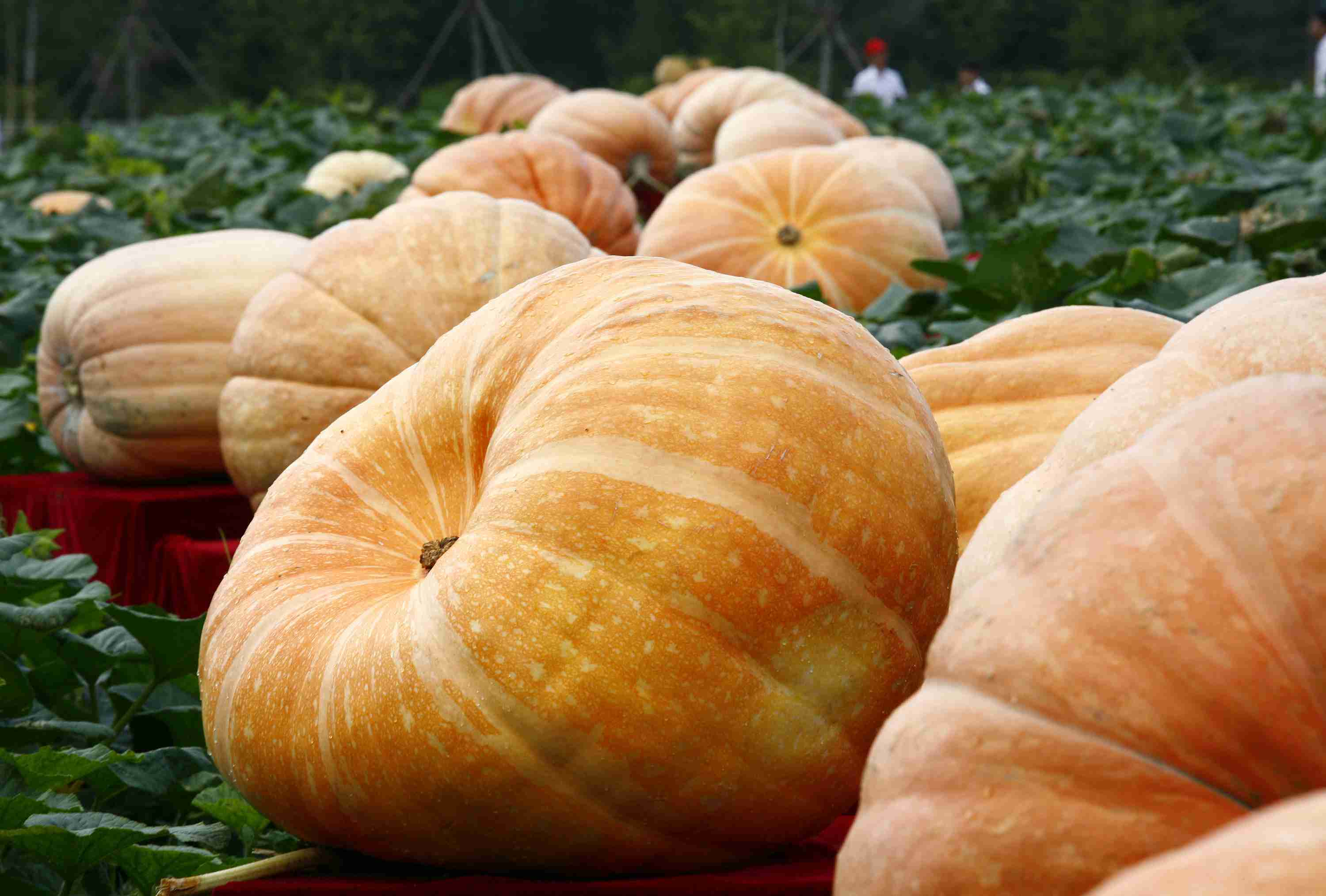 Giant pumpkins in a field