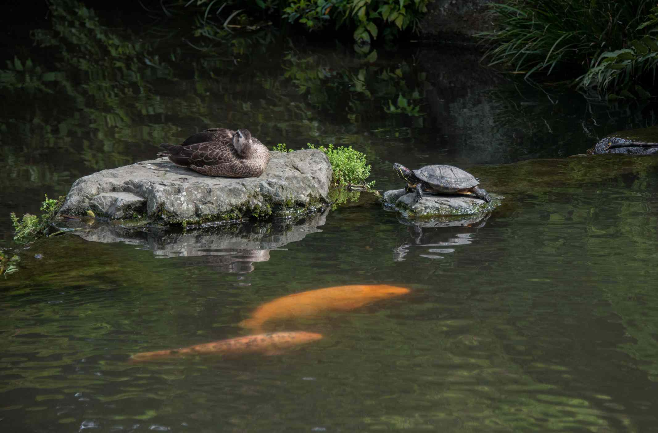 Rocks in the middle of a koi pond with a turtle and duck on top.