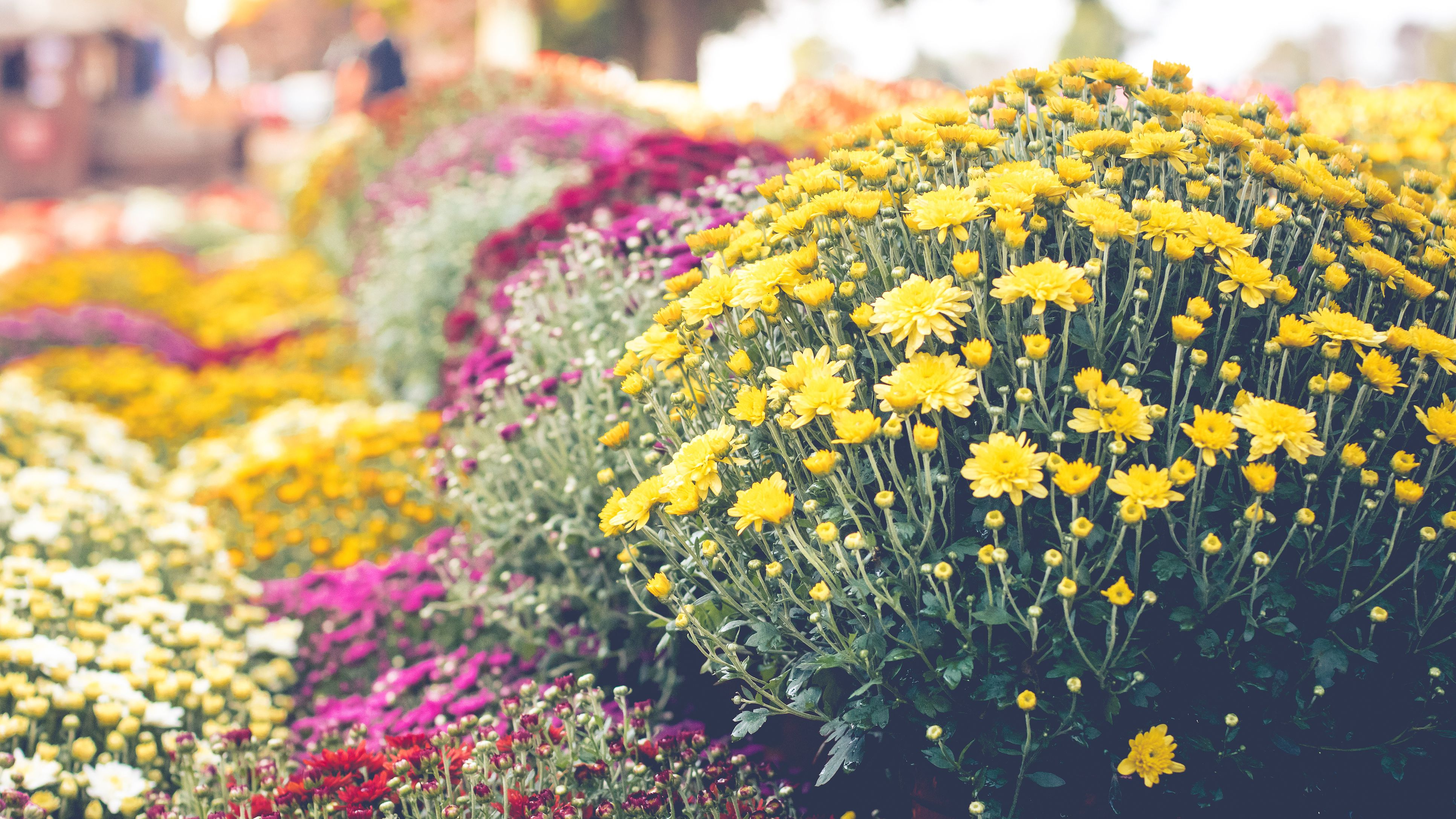 Grow And Care For Hardy Chrysanthemums