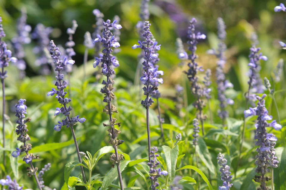 Mealy cup sage with light purple flowers on thin stems