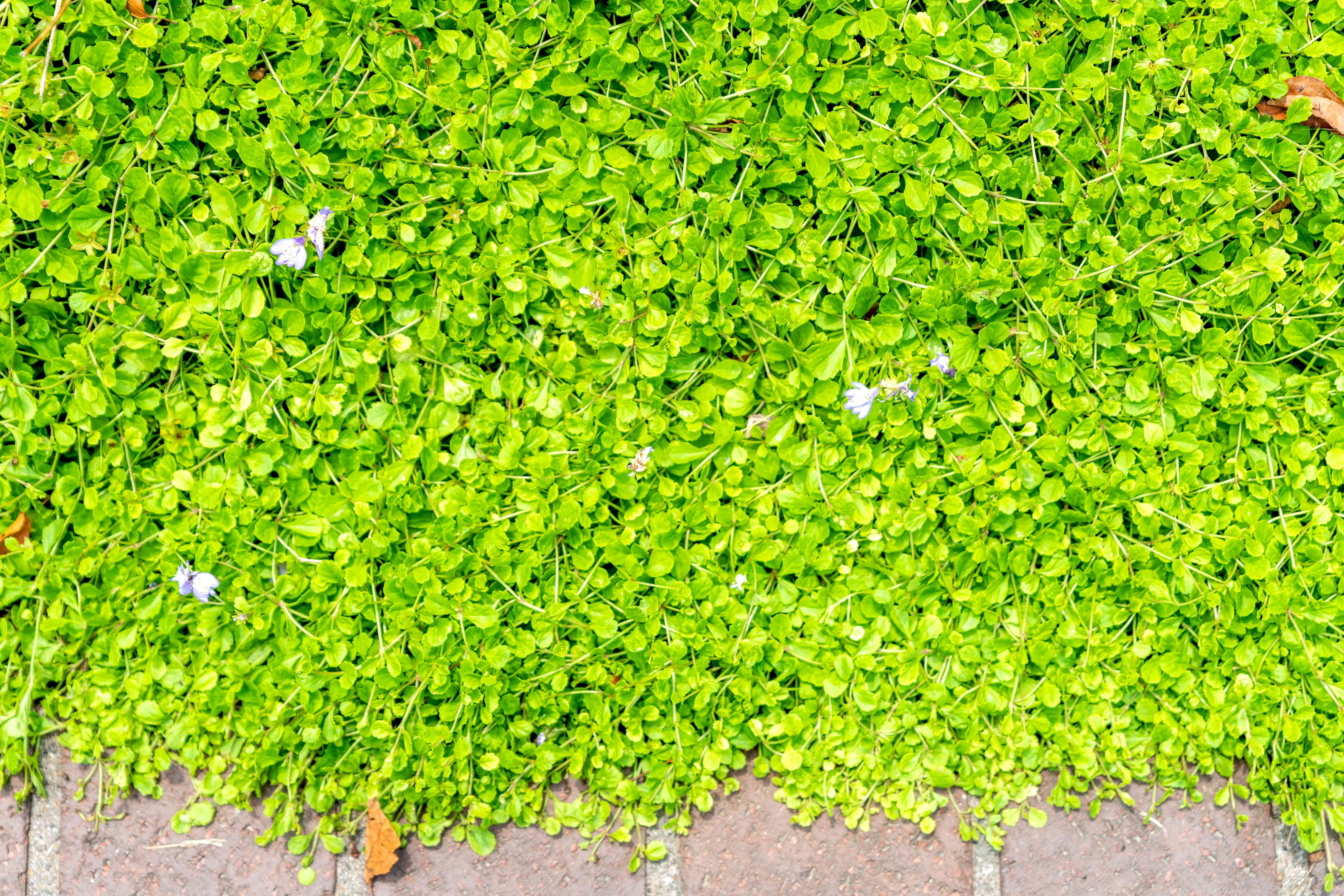Creeping mazus ground cover with bright green circular leaves with small purple flowers from above