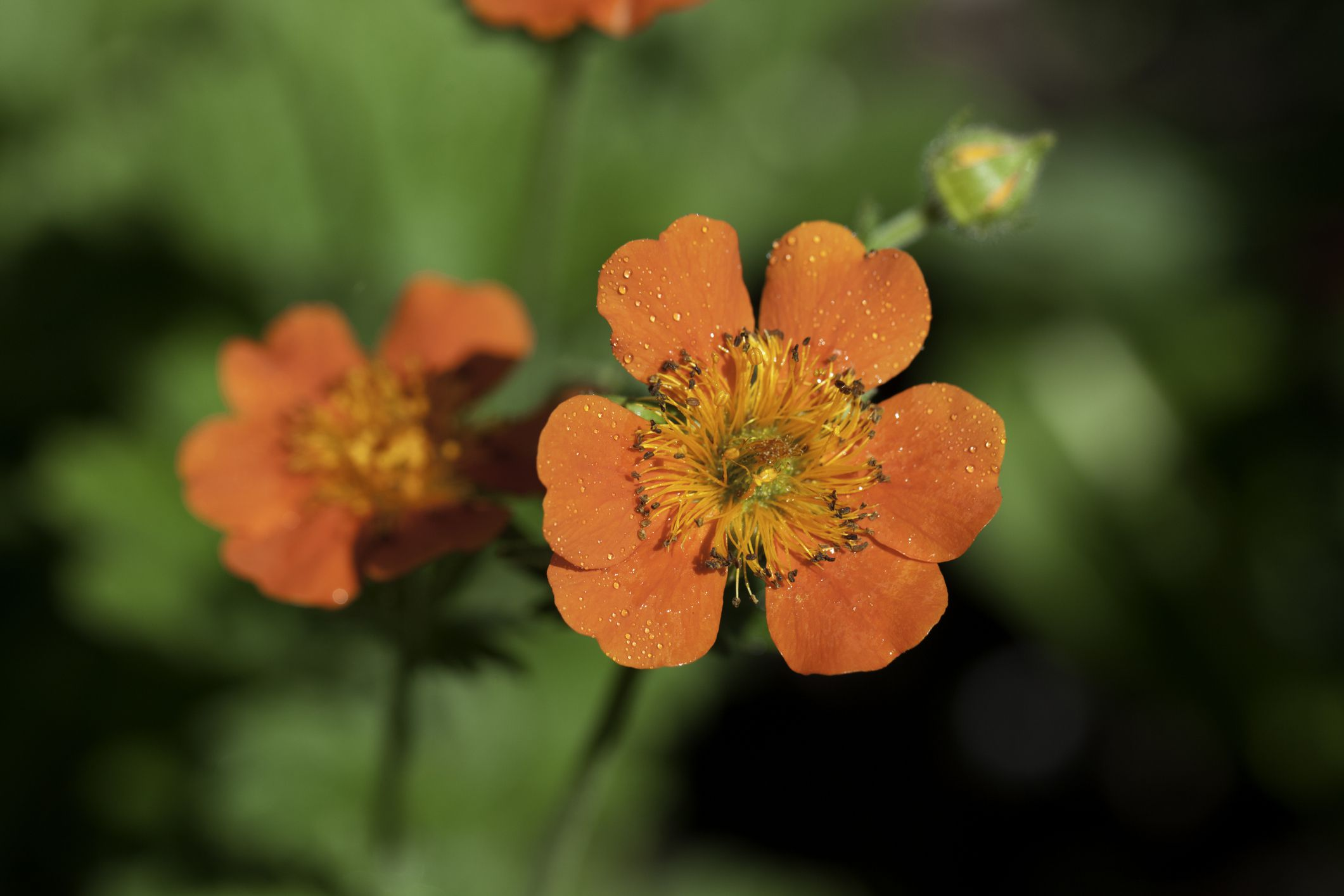 Geum flowers in orange.
