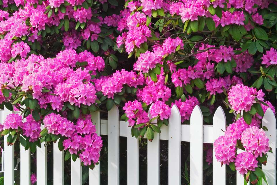 Rhododendrons on white fence