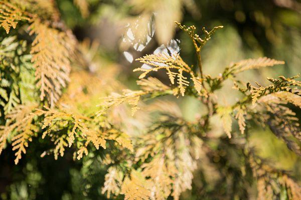 Arborvitae shrub