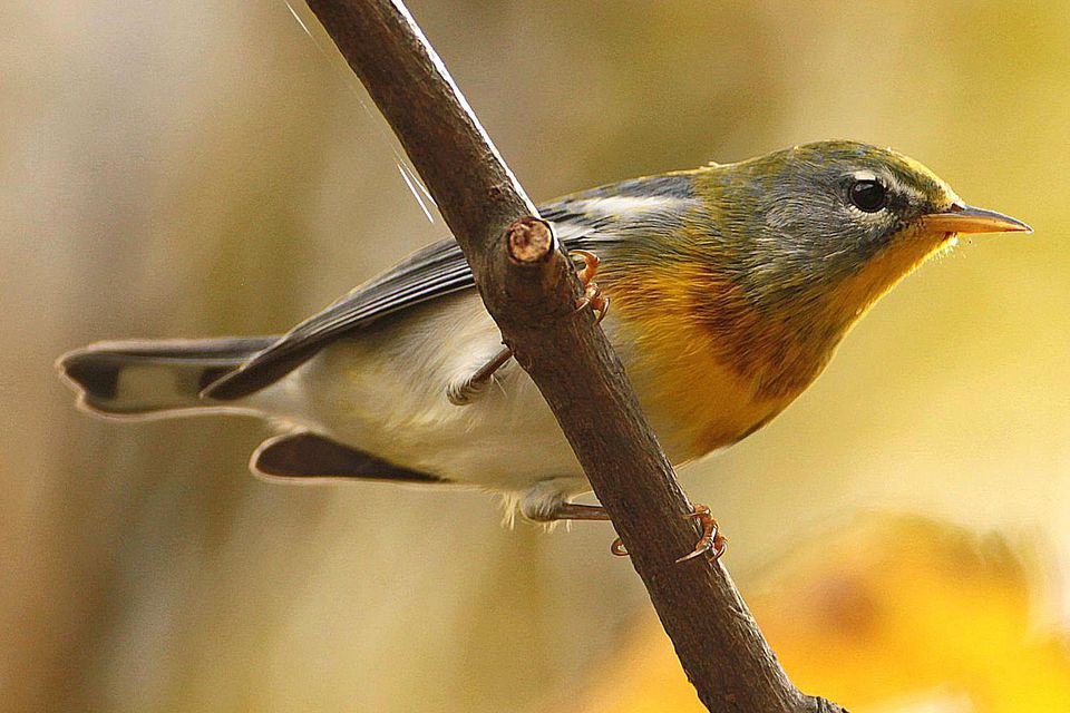 Northern Parula in Fall