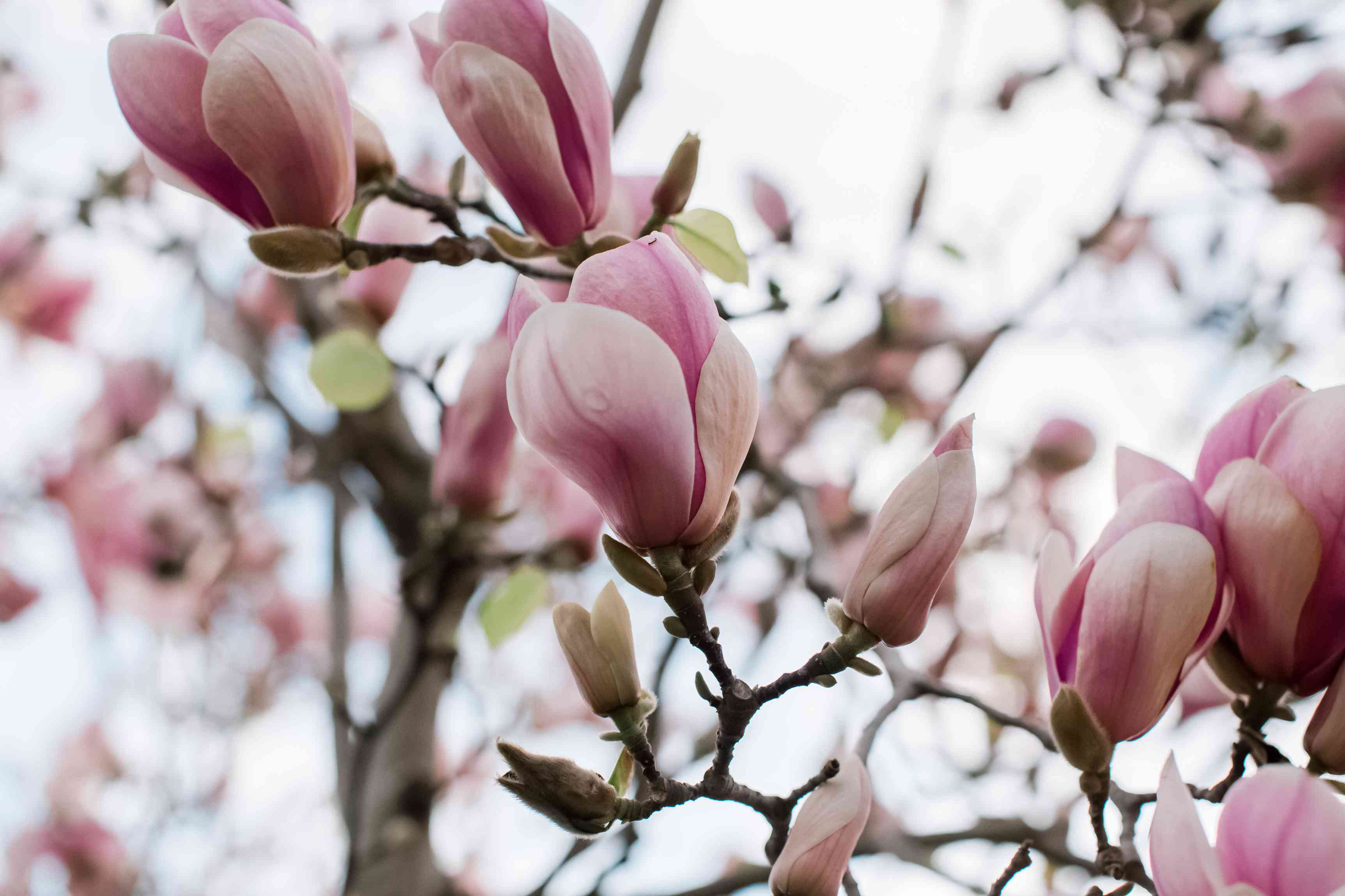magnolia blossoms that haven't fully opened