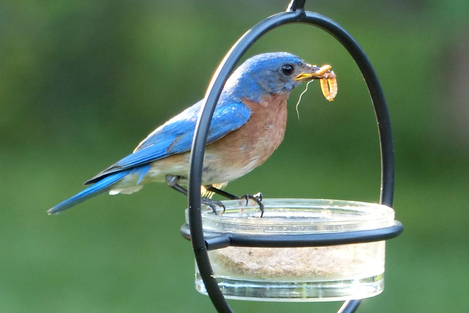 Bluebird Eating Mealworms