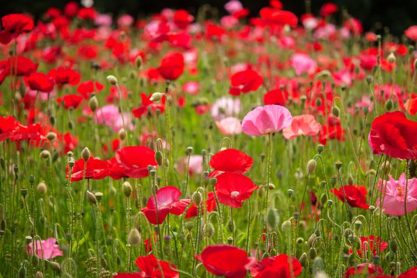Common poppy field with red and pink flowers and buds in between