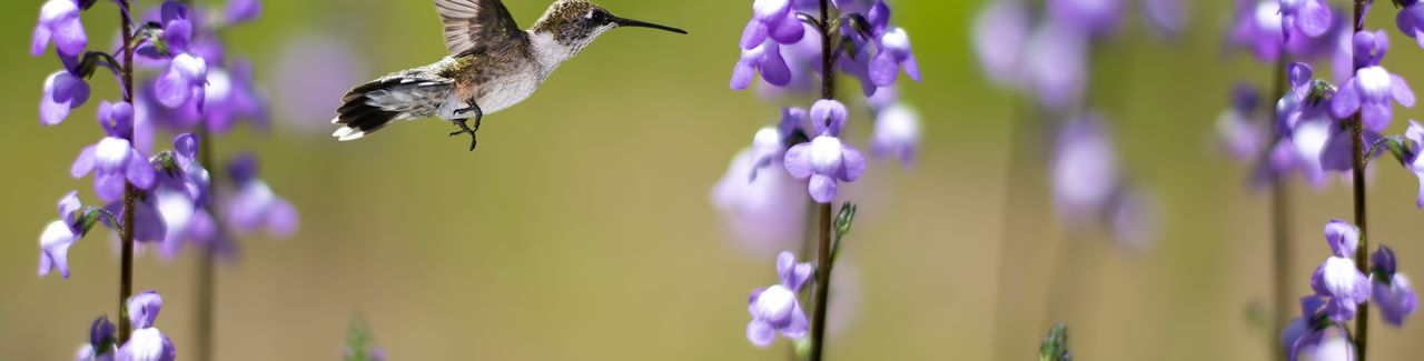 Hummingbird in Motion Surrounded by Purple Flowers