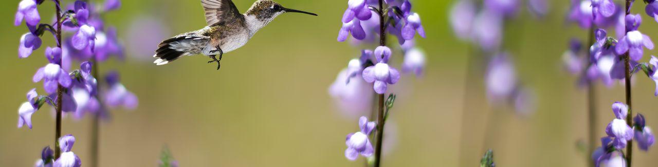 Colibrí en movimiento rodeado de flores de color púrpura