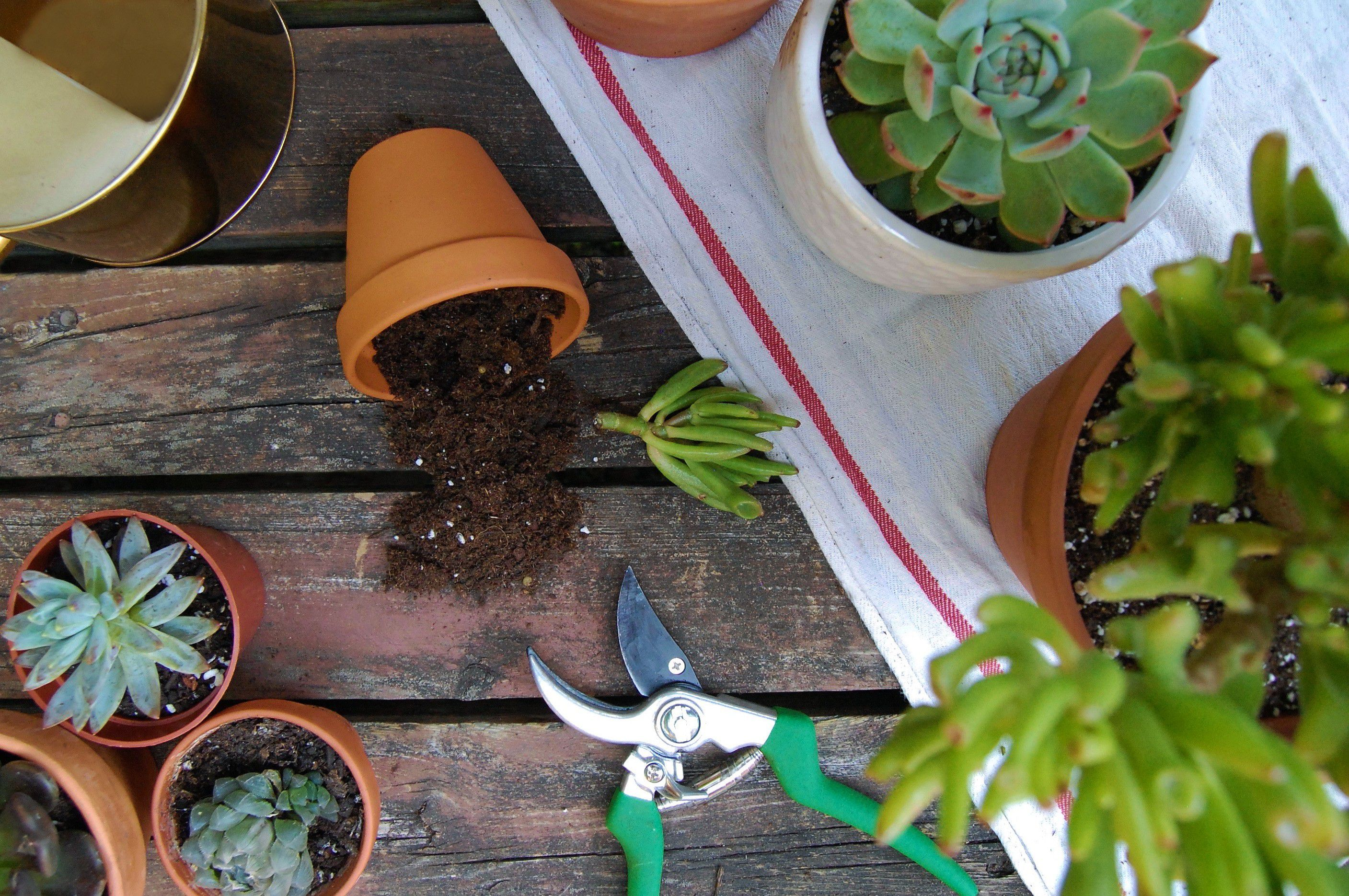 How to Plant Succulent Cuttings