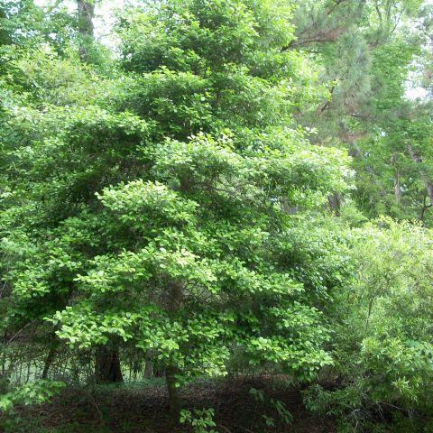 Nags Head Woods, American Holly