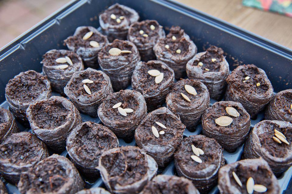 semillas en una bandeja de siembra