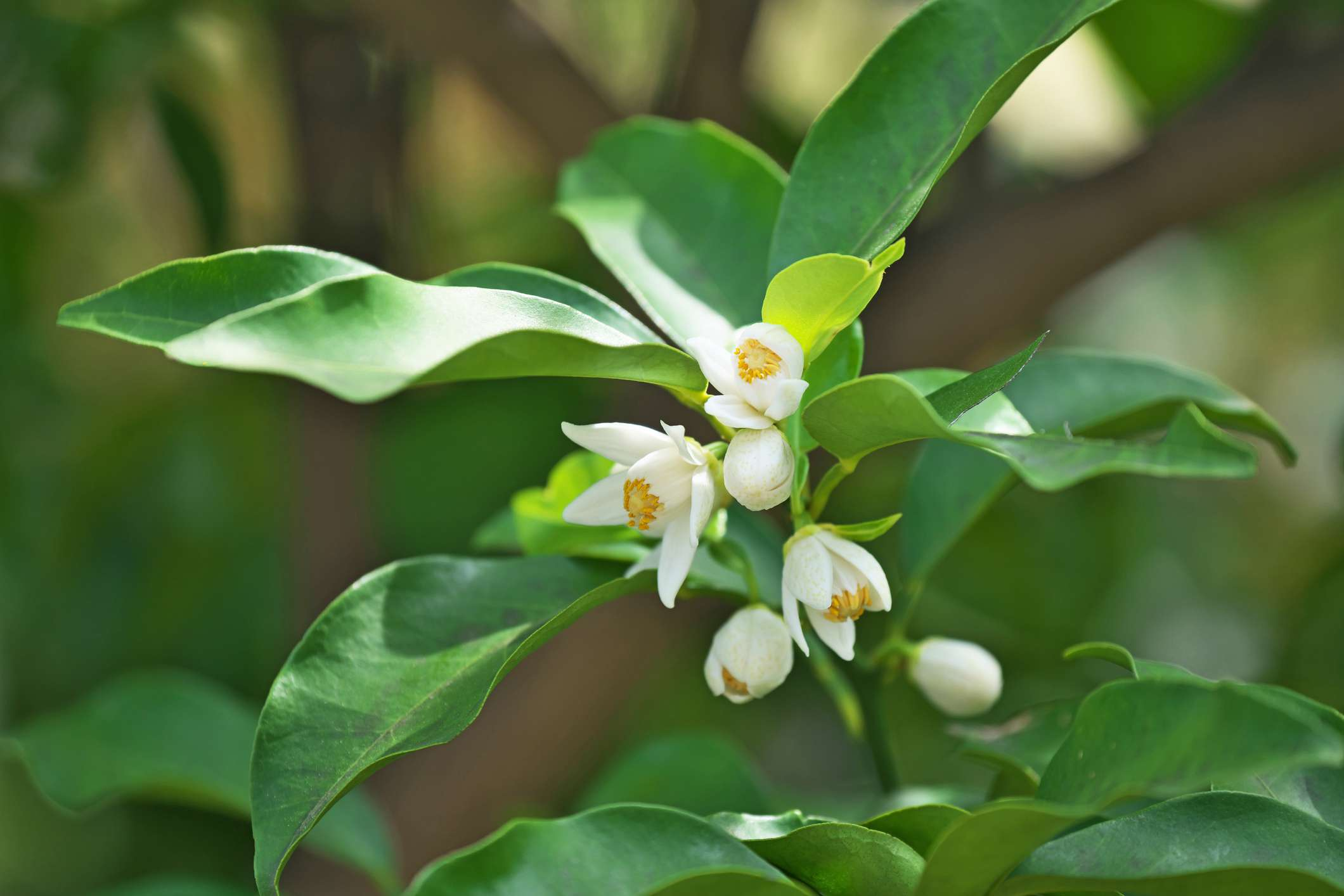 Satsuma tree blossoms