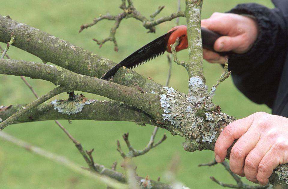 Pruning branch of old Malus (apple) tree