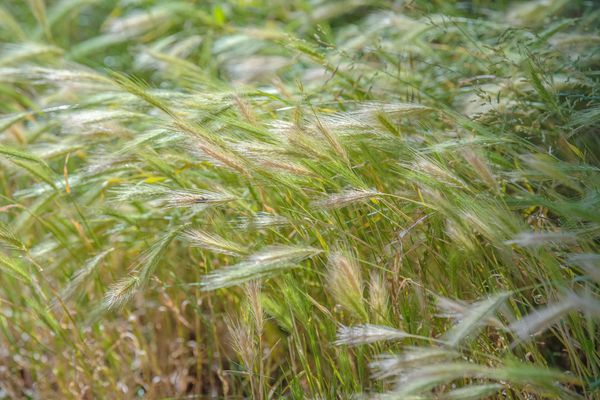 Canada wild rye ornamental grass with tan-green leaves on curving stems