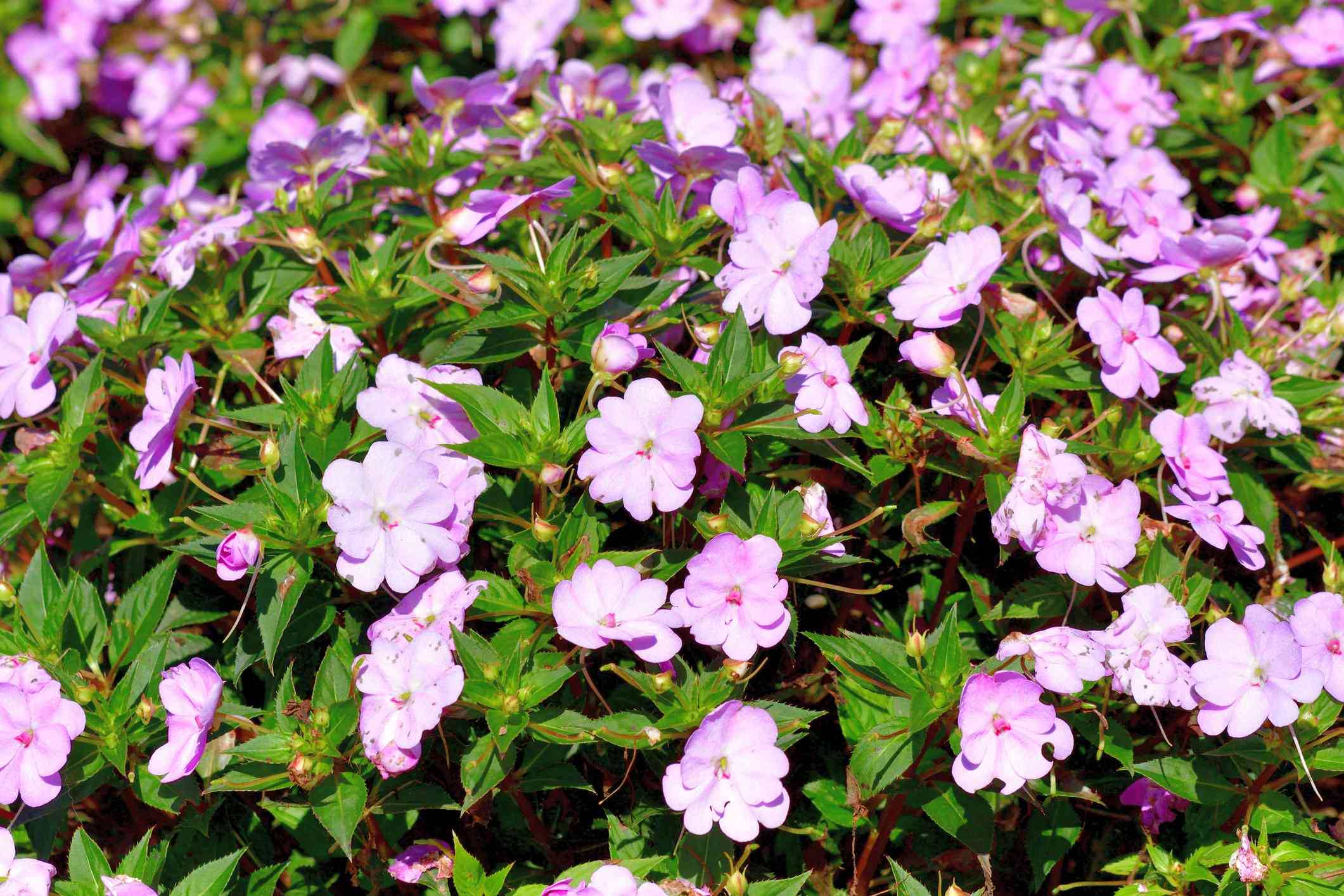 SunPatiens are available in a wide range of colors