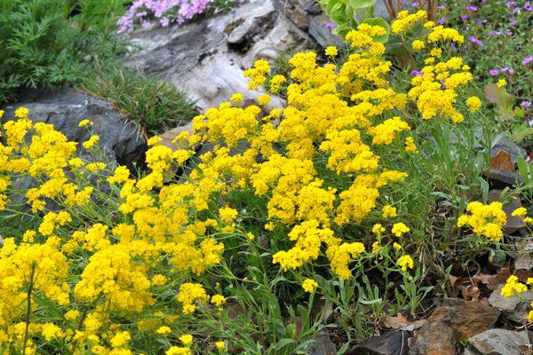 Yellow alyssum flowers in drought tolerant garden