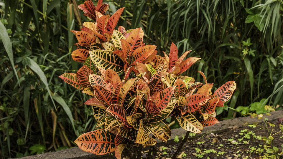 Crotons plant