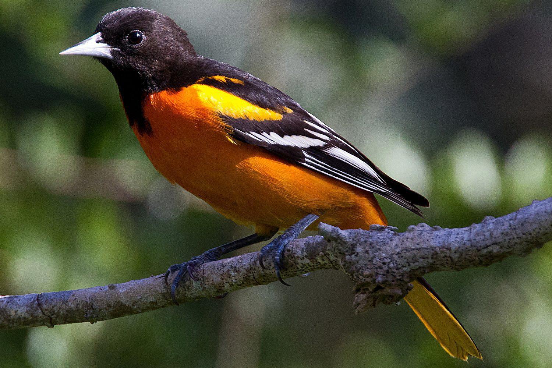 Baltimore Oriole - Wild Birds