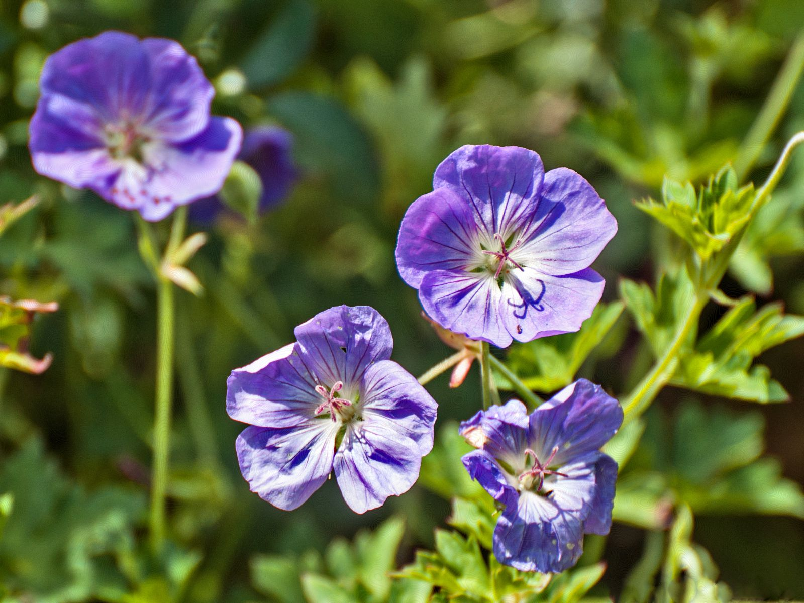 How To Grow Hardy Perennial Geraniums