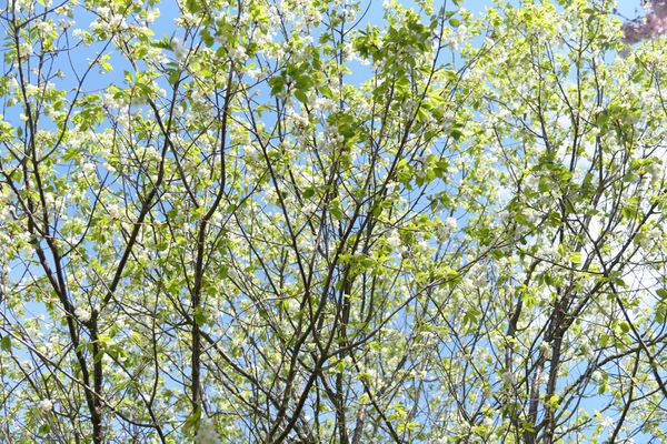 Paperbark cherry tree with long thin branches and green leaves against blue sky