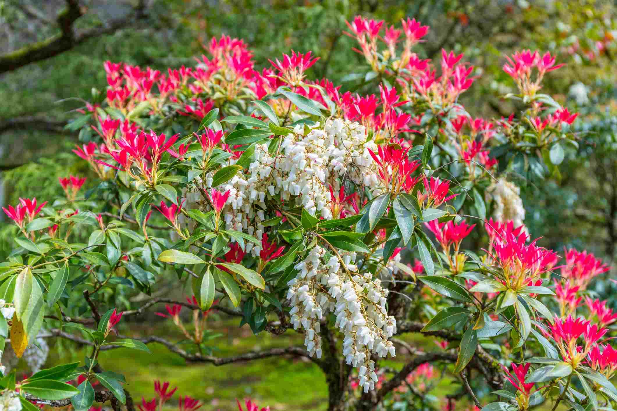arbusto Pieris japonica con flores rosadas