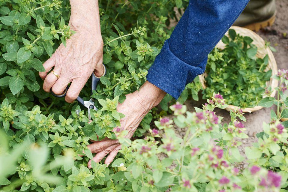 Gardener harvesting oregano in a herb garden